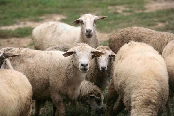 ČUDO U SELU KUPINOVAC: Ovca se ojagnjila i šokirala sve! 30 godina ovo nisu videli! (FOTO)