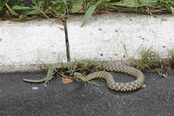 JEZIV PRIZOR USRED BEOGRADA: Velika zmija gmiže po pločnicima, u blizini FAKULTETA! (FOTO)