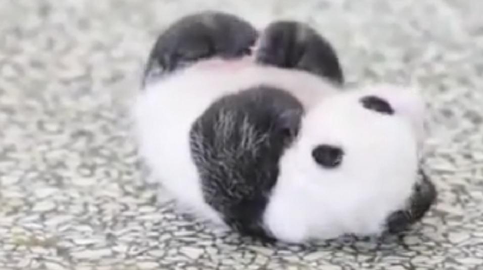 Beba-panda-je-opisala-muke-svih-nas-koje-mrzi-da-ustanemo-VIDEO
