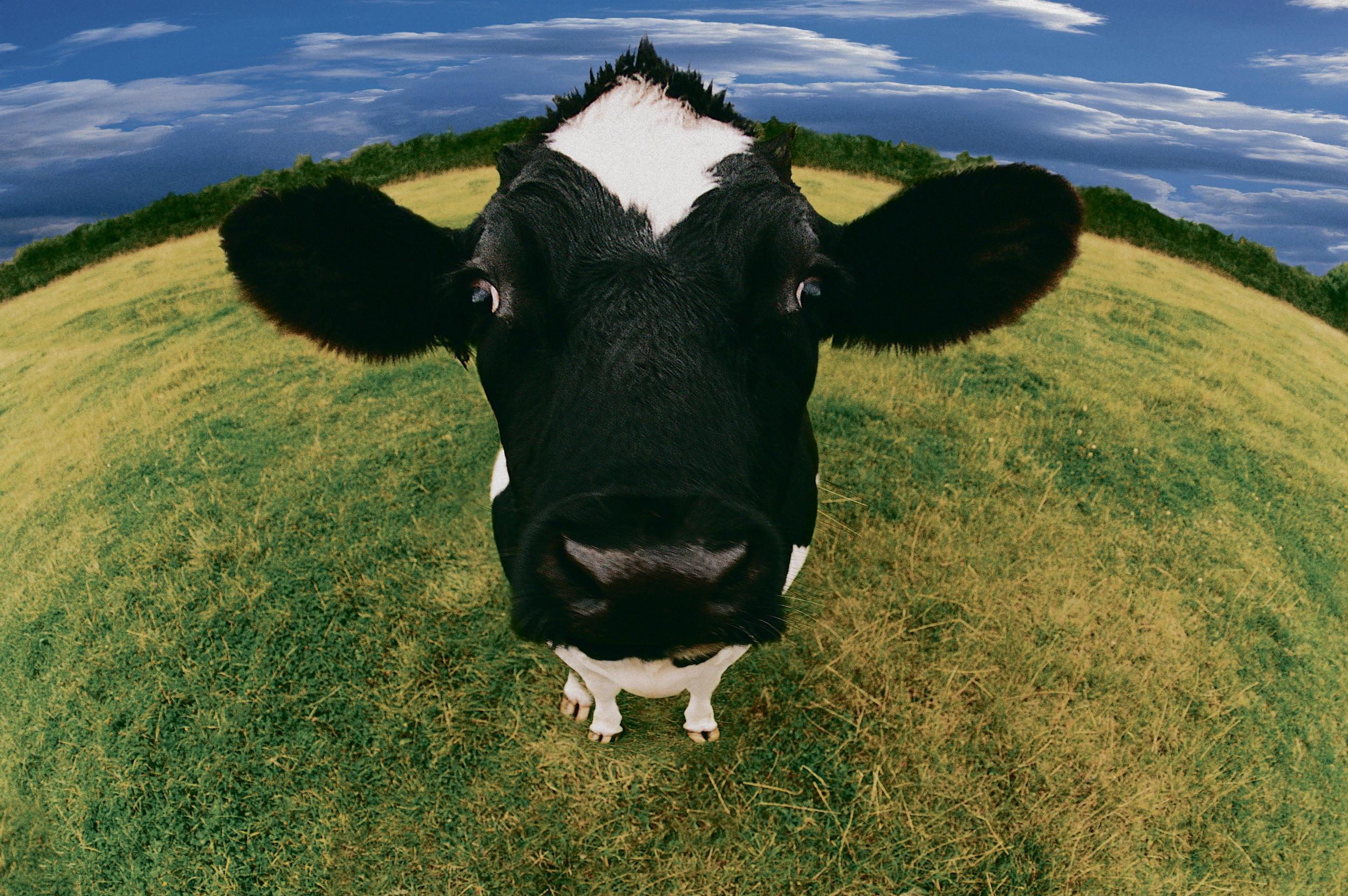 Krava-objasnila-Srusila-helikopter-rogovima-FOTO