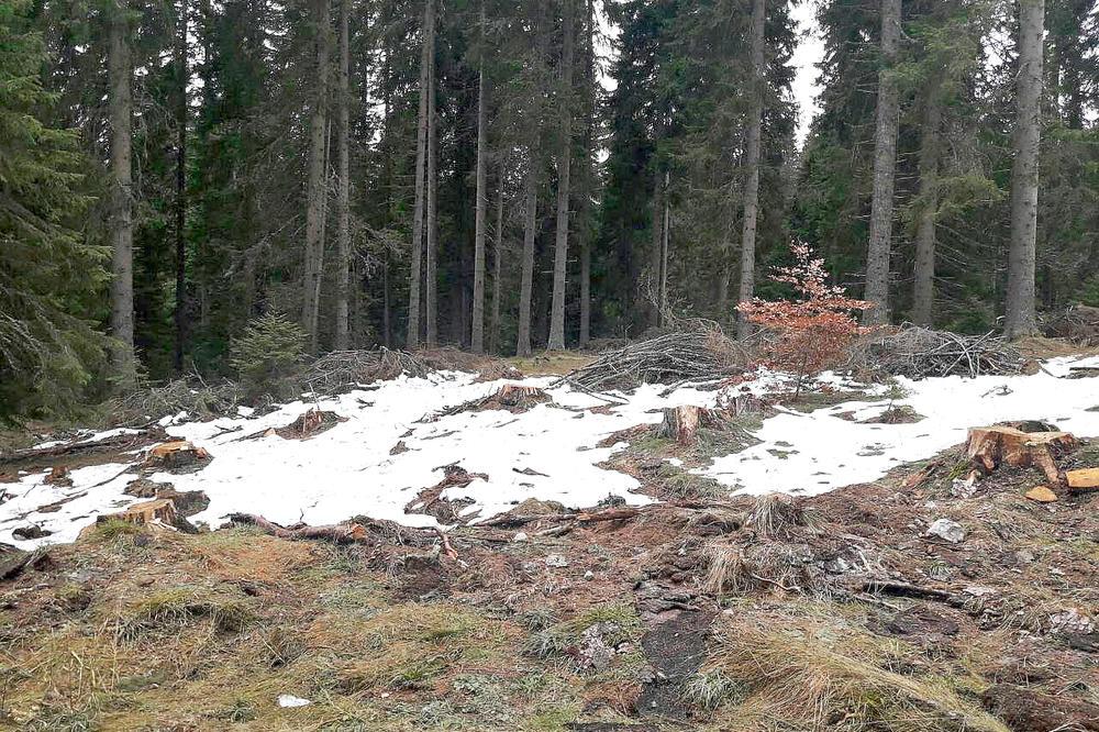 ŠOKANTAN PRIZOR NA KOPAONIKU: Posečena stoletna šuma, ostali samo panjevi, trupci i razbacano granje (FOTO)