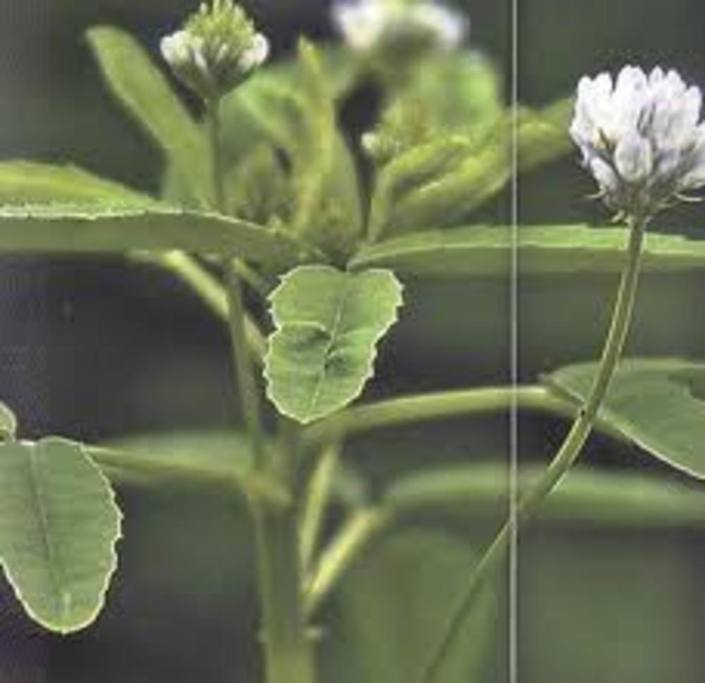 Biljka piskavica