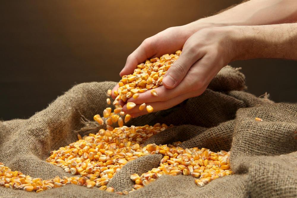 Kukuruzno zrno bogato je vlaknima koja snižavaju nivo holesterola u krvi