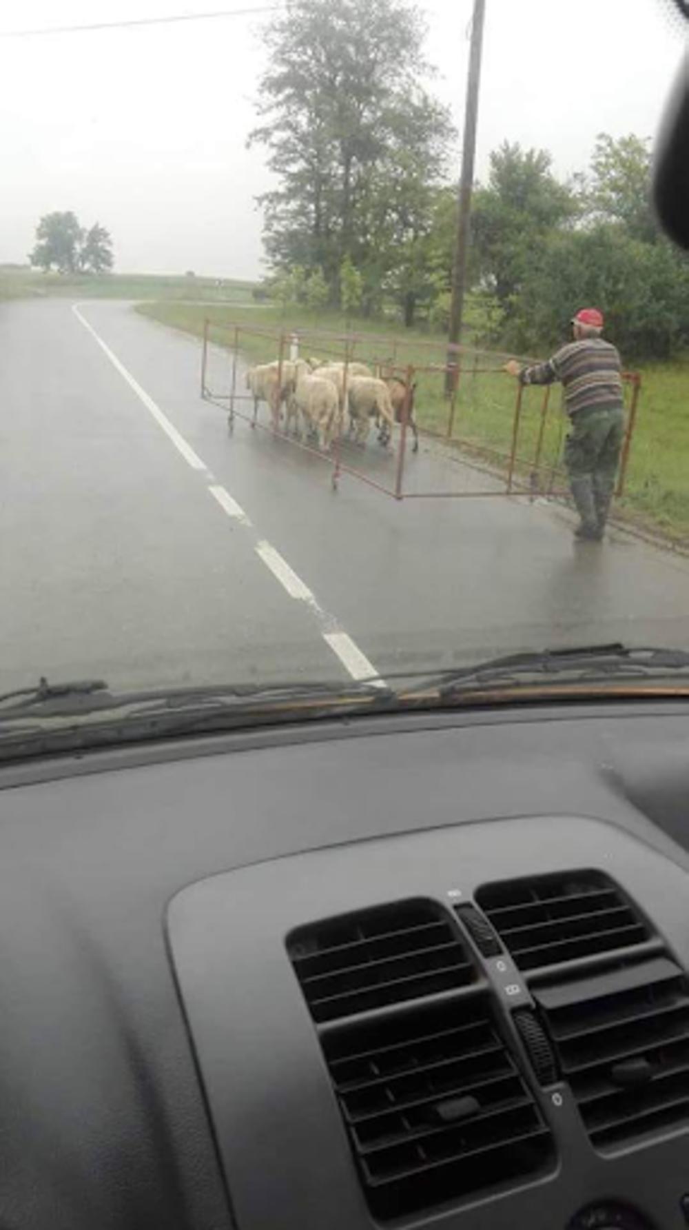 Ovce na putu