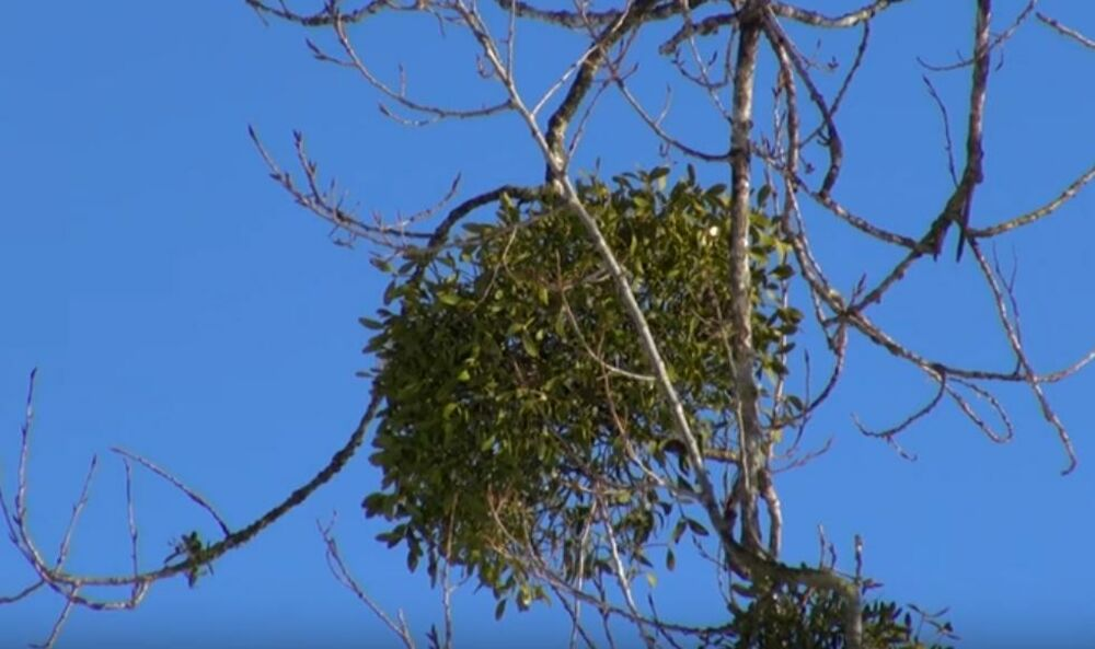 Drvo Imele