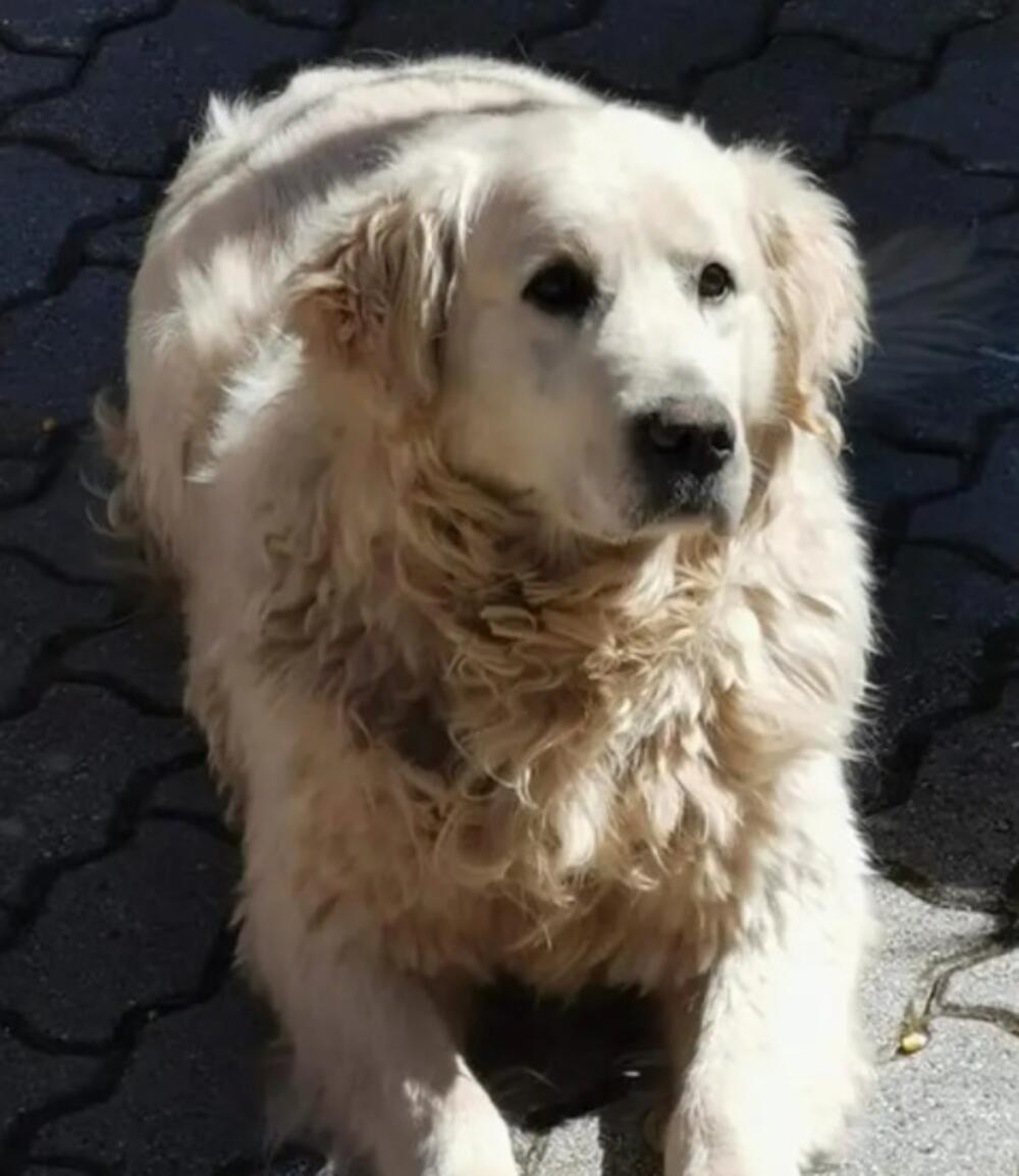 Pas Tošeta Proeskog